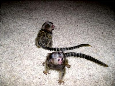 Two Gorgeous Marmosets  M-O-N-K-E-Y-S