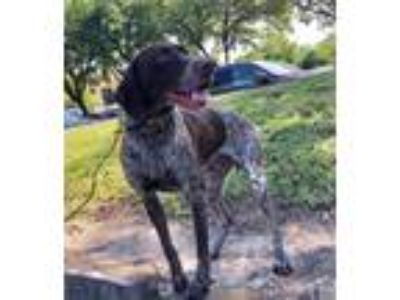 Adopt Tito a German Shorthaired Pointer