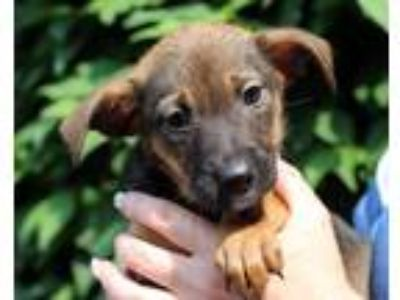 Adopt Razzles a Brown/Chocolate - with Black Shepherd (Unknown Type) / Mixed dog
