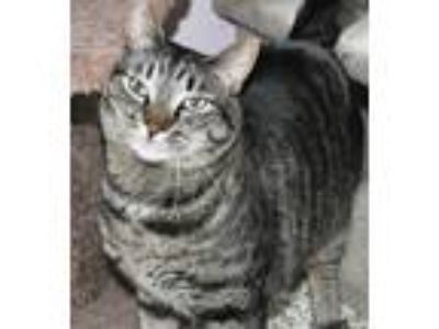 Adopt Milo a Tan or Fawn (Mostly) Domestic Shorthair (short coat) cat in West