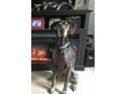Adopt Obi a Brown/Chocolate - with White German Shorthaired Pointer / Mixed dog