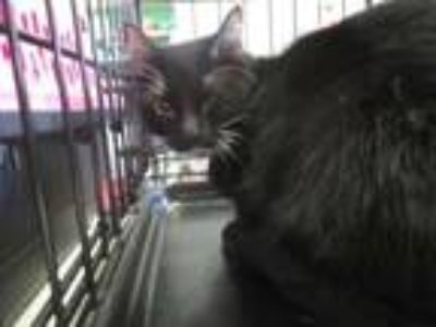 Adopt Stella a All Black Domestic Shorthair / Domestic Shorthair / Mixed cat in