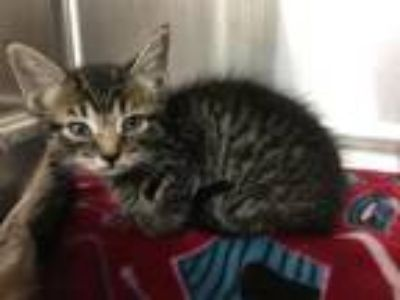 Adopt IRELAND a Domestic Short Hair