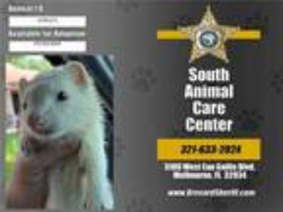 Adopt a White Ferret / Mixed small animal in Melbourne, FL (25826399)