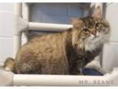 Adopt Mr. Beans a Manx / Mixed cat in Topeka, KS (25900436)