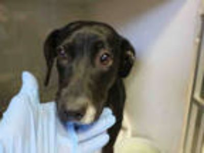 Adopt CHARLOTTE a Black - with White Dachshund / Mixed dog in Redlands