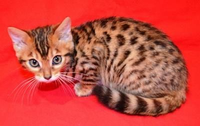 VBXFD Adorable sweet Bengal kittens for sale