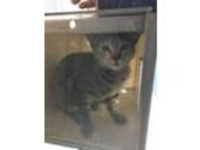 Adopt wow a Gray or Blue Domestic Shorthair / Domestic Shorthair / Mixed cat in