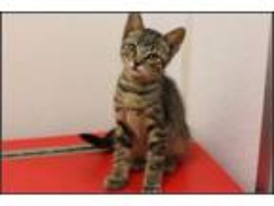Adopt Doodle A161749 a Domestic Short Hair