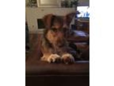 Adopt LOLA - Courtesy a Red/Golden/Orange/Chestnut Border Collie / Terrier