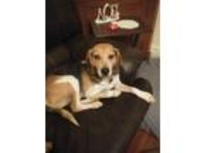 Adopt Connor a Tan/Yellow/Fawn - with Black Hound (Unknown Type) / Foxhound dog
