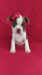 Boston Terrier PUPPY FOR SALE ADN-89544 - AKC Boston Terrier