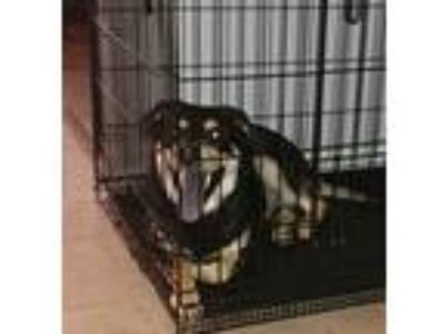 Adopt Brat LaSalle a Black - with Tan, Yellow or Fawn Rottweiler / German
