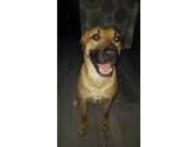 Adopt Cassie a Tan/Yellow/Fawn - with Black German Shepherd Dog / Mixed dog in