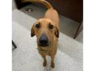 Adopt Jag a Tan/Yellow/Fawn Shepherd (Unknown Type) dog in Jacksonville