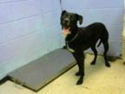 Adopt DASH a Labrador Retriever, Pointer