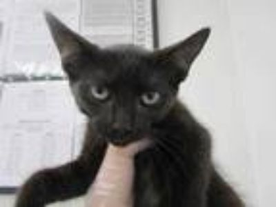 Adopt Flop a All Black Domestic Shorthair / Domestic Shorthair / Mixed cat in
