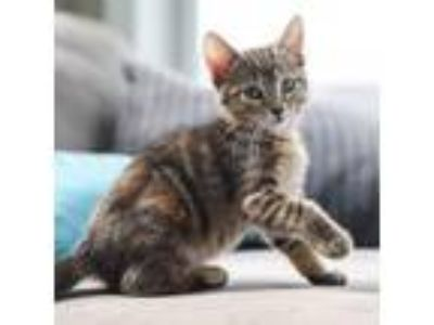 Adopt Drew a Brown or Chocolate Domestic Shorthair cat in St.