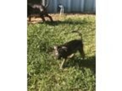Adopt Kelley a German Shepherd Dog
