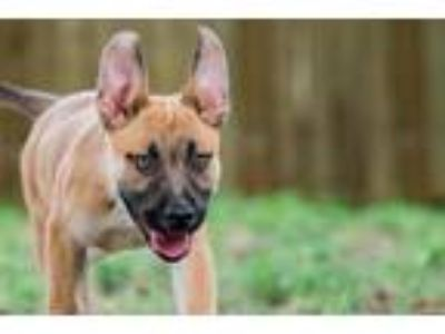 Adopt Kale a Red/Golden/Orange/Chestnut German Shepherd Dog / American Pit Bull