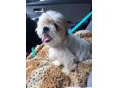 Adopt Lucky a White - with Tan, Yellow or Fawn Shih Tzu / Havanese / Mixed dog