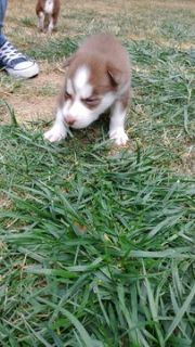 Siberian Husky PUPPY FOR SALE ADN-93347 - Husky Puppies