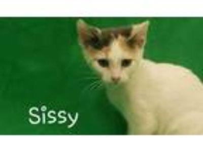 Adopt Sissy G31 7-19-19 a White Domestic Shorthair / Domestic Shorthair / Mixed