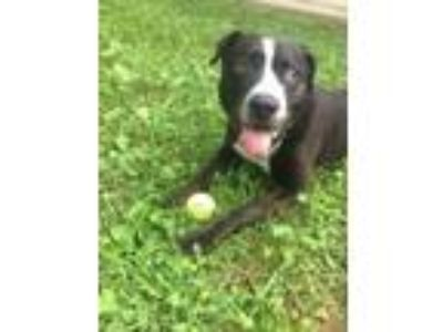 Adopt Fortune a American Staffordshire Terrier