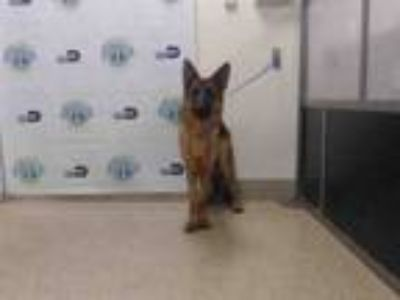 Adopt WOLFIE a German Shepherd Dog