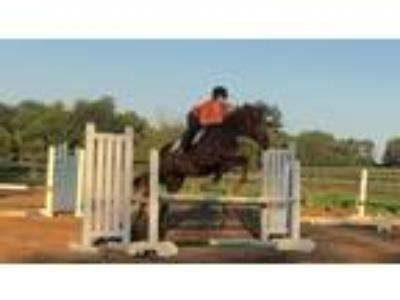 Talented Level Headed Unraced Thoroughbred ready to begin competing