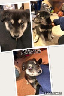 Goberian PUPPY FOR SALE ADN-65190 - WebbSide Puppy Kennel