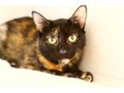 Adopt Bijou a Domestic Shorthair / Mixed cat in Pittsburgh, PA (25317188)