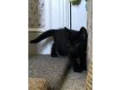 Adopt Merlin a Domestic Short Hair