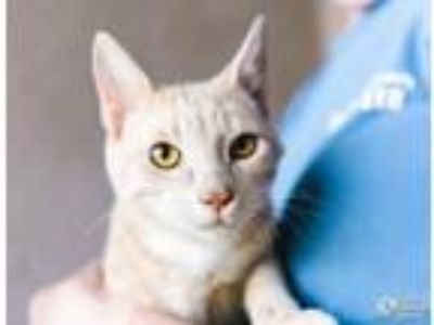 Adopt Achilles a Domestic Short Hair