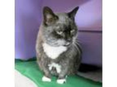 Adopt Shawnee a Domestic Short Hair