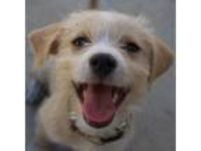 Adopt Woody a Tan/Yellow/Fawn Mixed Breed (Small) / Mixed dog in Pleasanton