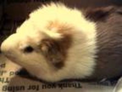 Adopt MARIO a Brown or Chocolate Guinea Pig / Mixed small animal in Denver