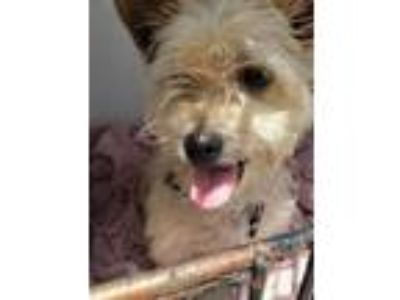 Adopt Rocko a Cairn Terrier, Mixed Breed