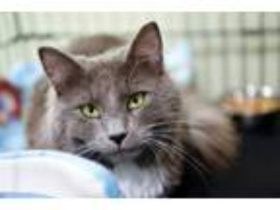 Adopt Mister a Domestic Medium Hair