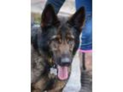 Adopt Zeke a German Shepherd Dog