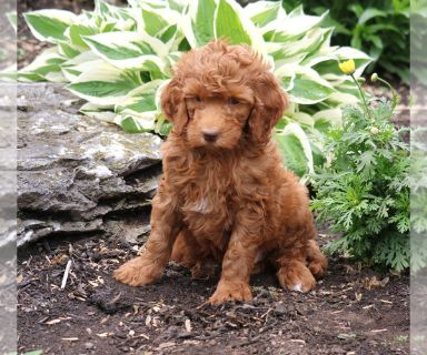 Goldendoodle-Poodle (Standard) Mix PUPPY FOR SALE ADN-130731 - f1b standard