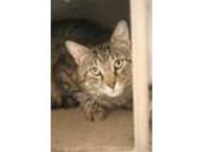 Adopt Toby a Gray or Blue Domestic Shorthair / Domestic Shorthair / Mixed cat in