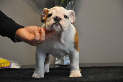 Champion Bulldog Puppies