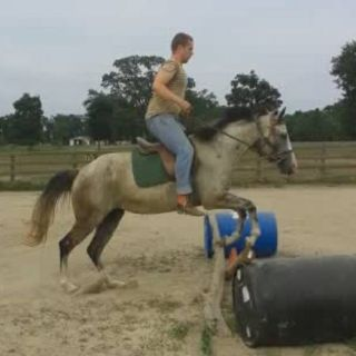 APHA grey mare  (Leesville )