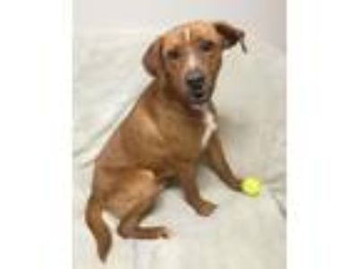 Adopt Baron a Red/Golden/Orange/Chestnut Retriever (Unknown Type) / Mixed dog in