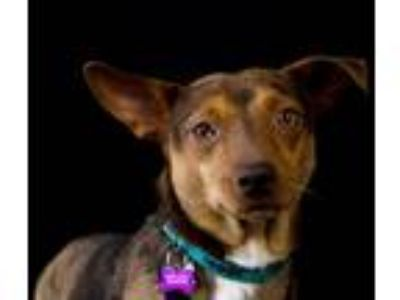 Adopt Dapper Dan a Tan/Yellow/Fawn Australian Cattle Dog / Miniature Pinscher /