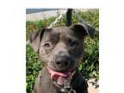 Adopt Iris a Pit Bull Terrier