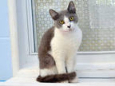 Adopt FAWNA a Gray or Blue (Mostly) Domestic Shorthair / Mixed (short coat) cat