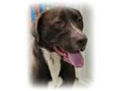Adopt Sylas a Brown/Chocolate Labrador Retriever / Mixed dog in Irmo