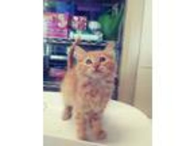 Adopt Asher a Orange or Red Domestic Shorthair / Domestic Shorthair / Mixed cat